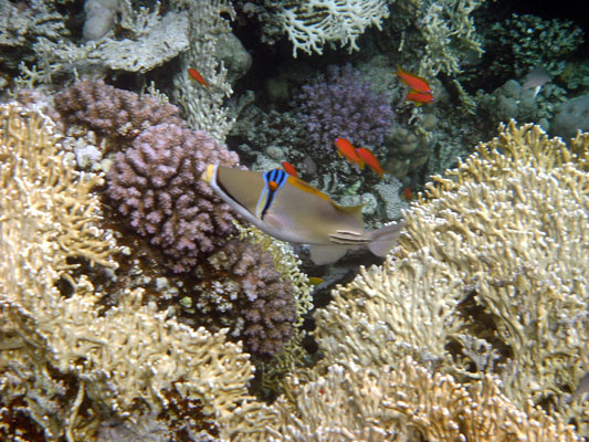 Picasso Triggerfish with Anthias