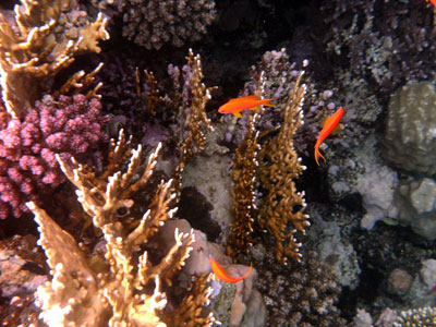 Anthias against the coral